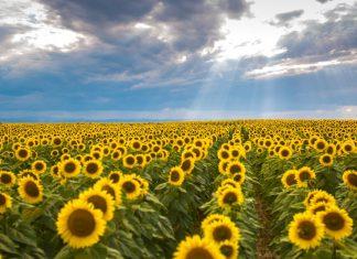 Floarea soarelui, lan, raze de soare, voia lui Dumnezeu, Dumnezeu și lumea, lumina și întunericul