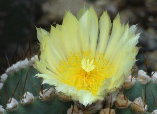 Suferința este curățitoare, floare, cactus, spini
