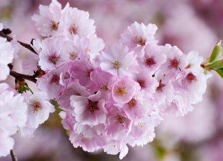 Flori de cireș, curăție, puritate