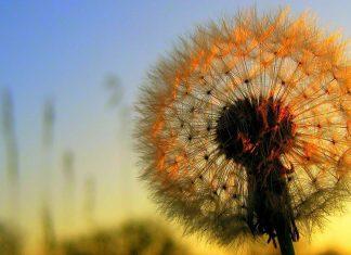 Păpădie, vânt, efemer,trecător,instabil