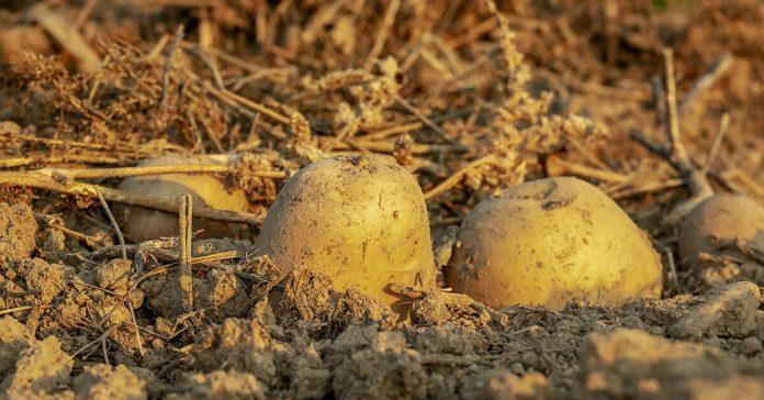 Cartofi în pământ, aparențe