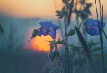 floare,apus,soare