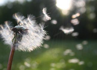 Păpădie, vânt, iarbă, flori, zbor