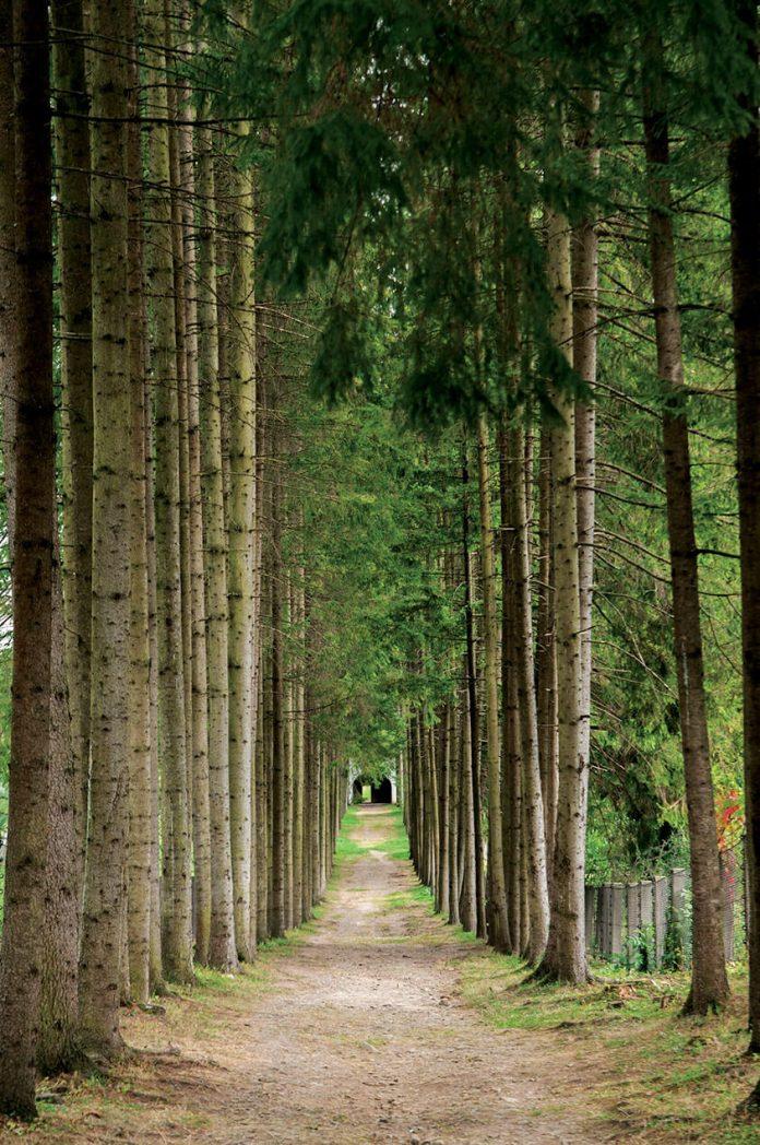 alee,copaci,îngust