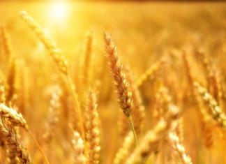 Spic, grâu, soare, veșnicie