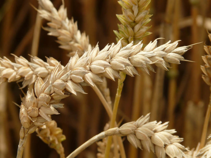 spice, grâu, seceriș, lan, câmp