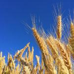 grâu, lan, spice, cer, pâine, cereale